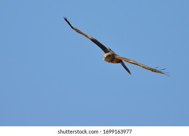 The common buzzard circles in the sky