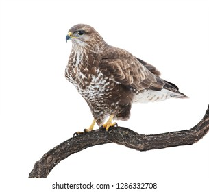 Common Buzzard isolated on white. Buteo buteo