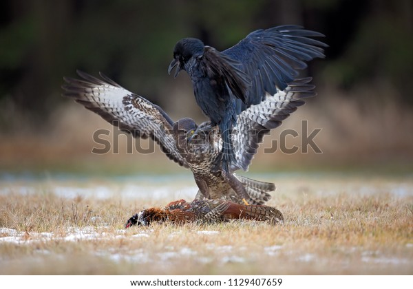 Common buzzard is a medium-to-large bird of prey whose range covers most of Europe and extends into Asia. Over much of its range, it is resident year-round, but birds from the colder parts.