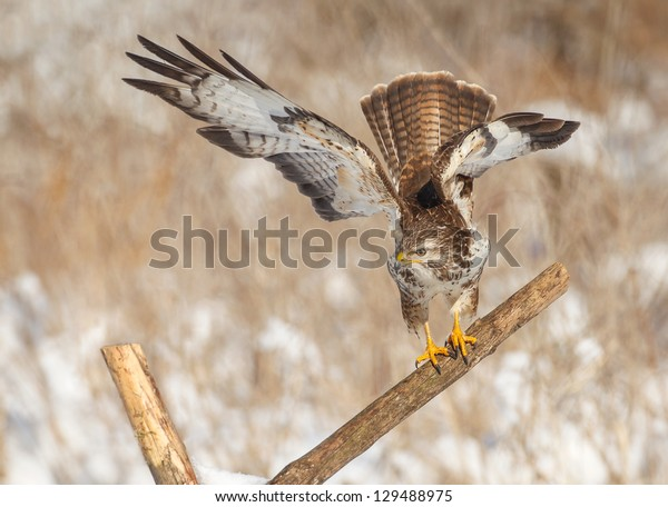 Common buzzard on a fence post in winter forest