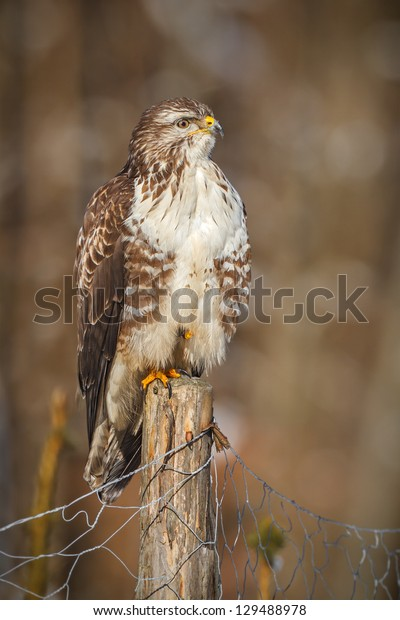 Common buzzard on a fence post in winter sunshine