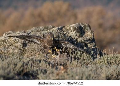 Common Buzzard on the mountain rocks