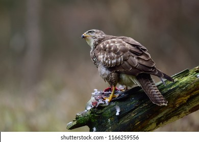 Common buzzard sitting with dead woodpigeon on a wood, winter, germany,  (buteo buteo)