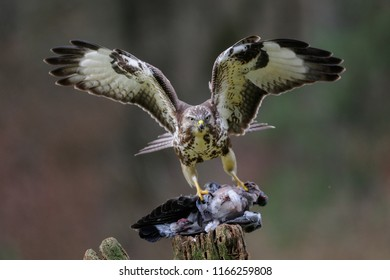 Common buzzard standing with dead woodpigeon on a wood, winter, germany,  (buteo buteo)