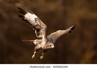 common buzzard is start to fly