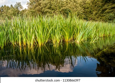 Common calamus, rush, bulrush on  bank of the Dobrzyca River. Poland, during canoeing  excursion. Acorus calamus also called sweet flag or calamus