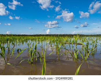 Common calamus, rush, bulrush on Javari River  in the Amazon jungle, basin of Amazon River.  Amazonia South America. (Valle del Yavarí) Acorus calamus also called sweet flag or calamus