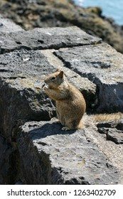 A common California ground squirrel sitting on some rocks to eat by the sea
