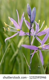 Common camas, Willamette Floodplain RNA, William L. FInley National Wildlife Refuge, Oregon, USA