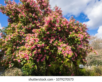 Common camellia (Camellia japonica) is a flowering tree or shrub. There are thousands of cultivars of C. japonica in cultivation, with many different colors and forms of flowers.