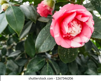 Common Camellia, red and pink flower at close up