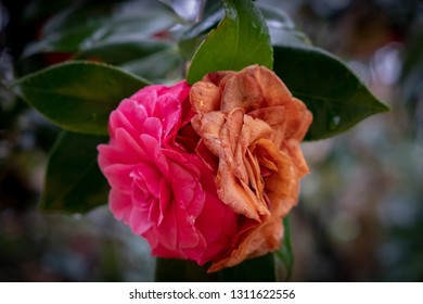 Common camellias, with one fresh and vibrant, and the other old and weathered. Could symbolize old vs new, or reflection of time gone by.