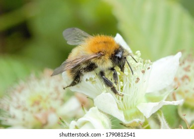 A Common Carder Bee (Bombus pascuorum) feeding from/pollinating a Cow Parsley flower.
