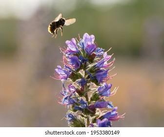 Common Carder Bee (Bombus pascuorum) in flight over Viper's Bugloss (Echium vulgare)