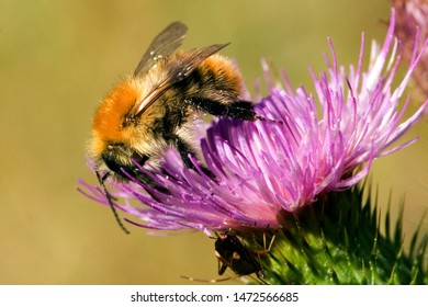 Common carder bumblebee on a flower