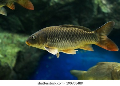 The Common Carp ( Cyprinus Carpio )
