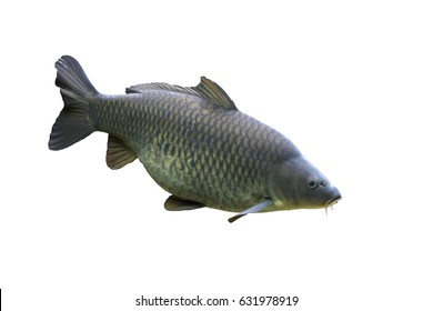 Common carp, Cyprinus carpio, Free of charge
