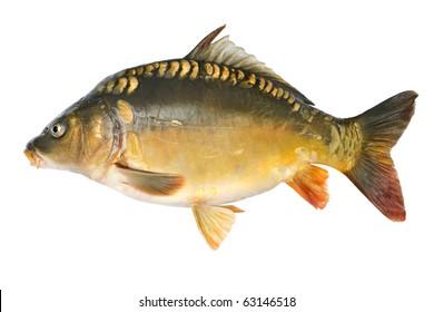 Common carp. Cyprinus carpio. Isolated on white