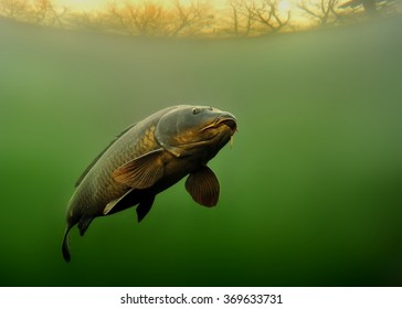 Common Carp (Cyprinus carpio) under water with beautiful background.