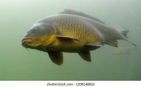 The common carp or European carp (Cyprinus carpio)  is the most famous freshwater fish in the world