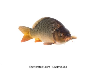 The common carp or European carp (Cyprinus carpio) is a widespread freshwater fish of eutrophic waters in lakes and large rivers in Europe and Asia.