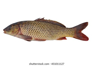 Common carp The common carp is native to Asia, and has been introduced to every part of the world except the poles.