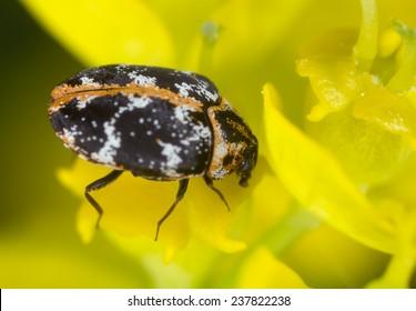 Common carpet beetle, Anthrenus scrophulariae feeding on flower