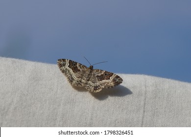 common carpet or white-banded toothed carpet (Epirrhoe alternata). a moth of the family Geometridae. On a sheet on the line. Flying up to the blue sky. Summer in a Dutch garden.