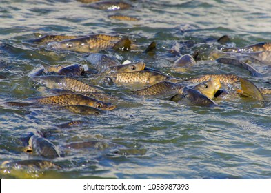 A lot of common carps in the surface of the lake