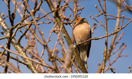 Common chaffinch (Fringilla coelebs): a male with colorful plumage. Bird perched on the branch of a hawthorn hedge. Bare trees in winter. Wild nature of France. Fauna of Western Europe