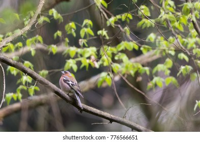 Common chaffinch (Fringilla coelebs) male in spring sitting on branch, Bialowieza Forest, Poland, Europe