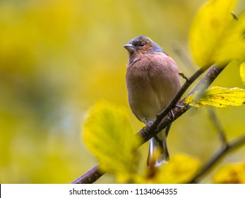 Common Chaffinch (Fringilla coelebs) on autumn branch with yellow leaves in an ecological garden and looking.  With copyspace, space for text