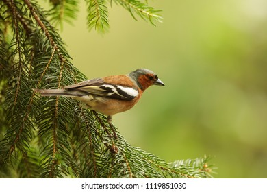 common chaffinch, Fringilla coelebs, is sitting on the spruce branch
