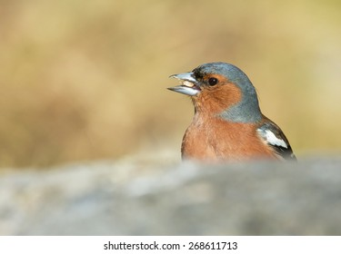 Common chaffinch, male