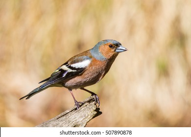 Common chaffinch on the branch