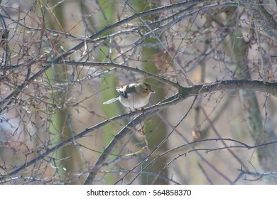 Common chaffinch on tree branch