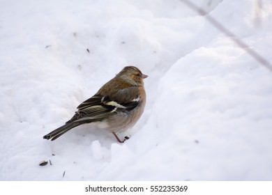 Common chaffinch searching in snow for food