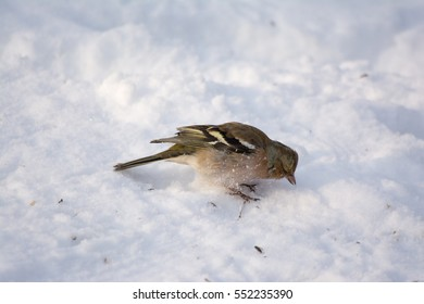Common chaffinch in the snow
