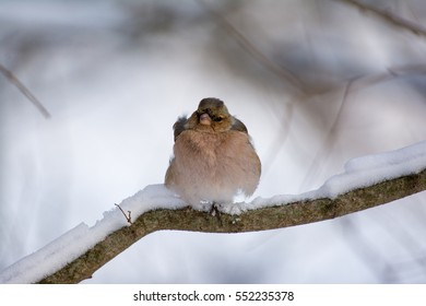 Common chaffinch standing on branch during winter
