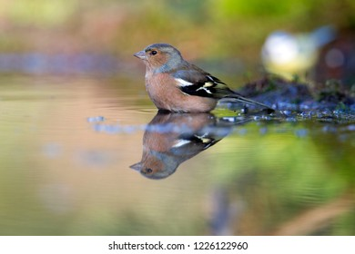 Common Chaffinch takes a bath in pond, the Netherlands