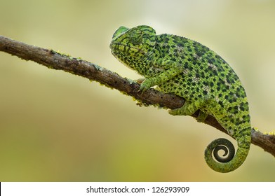 Common Chameleon on a branch in the shadow