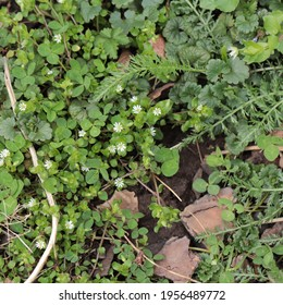 Common chickweed weed (Stellaria media) with white star-like blossoms shares space with creeping Charlie, or ground ivy (Glechoma hederacea), white clover, and yarrow fronds in spring.