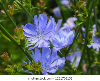 Common Chicory or Cichorium intybus flower blossoms commonly called blue sailors, chicory, coffee weed, or succory is a herbaceous perennial plant. Close up