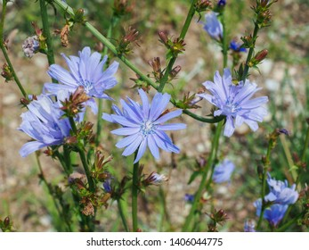 Common Chicory or Cichorium intybus flower blossoms commonly called blue sailors, chicory, coffee weed, or succory is a herbaceous perennial plant cultivated for herbal coffee drink - natural inulin.