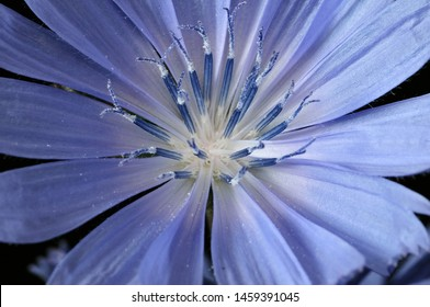 Common Chicory or Cichorium intybus flower blossoms commonly called blue sailors, chicory, coffee weed, or succory is a herbaceous perennial plant. Close up. Selective focus. Shallow DOF.