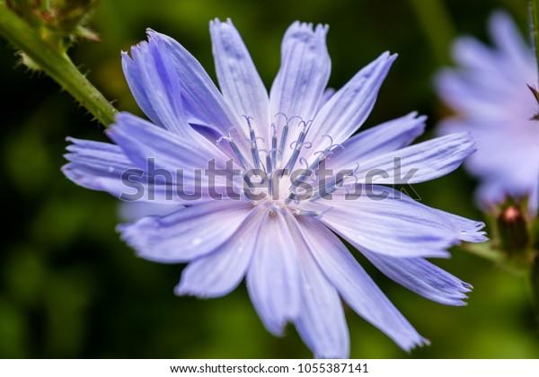 common-chicory-flower-cichorium-intybus-