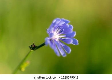 Common chicory (lat. Cichorium intybus) flowers blossoms commonly called blue sailors, chicory, coffee weed, or succory is a herbaceous perennial plant