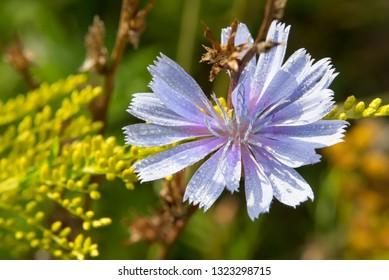 Common chicory (lat. Cichórium íntybus). Wildflower Closeup