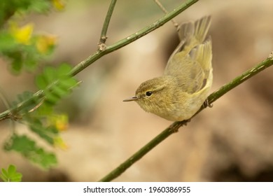 Common chiffchaff in the forest in springtime