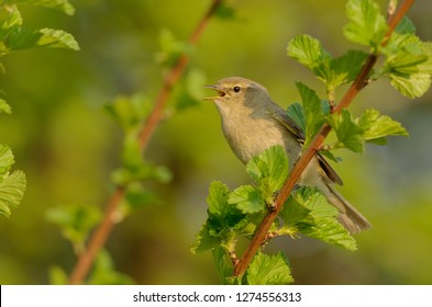 The common chiffchaff, or simply the chiffchaff, (Phylloscopus collybita) is a common and widespread leaf warbler which breeds in open woodlands. Singing spring bird